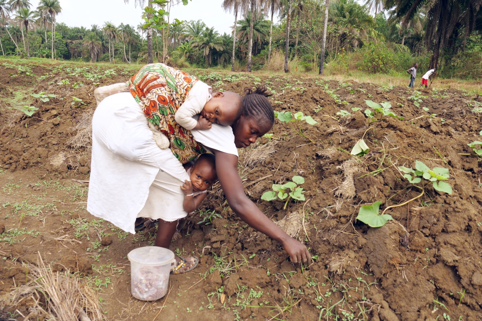 A woman weeds sweet potato plants with a baby on her back and a child at her feet
